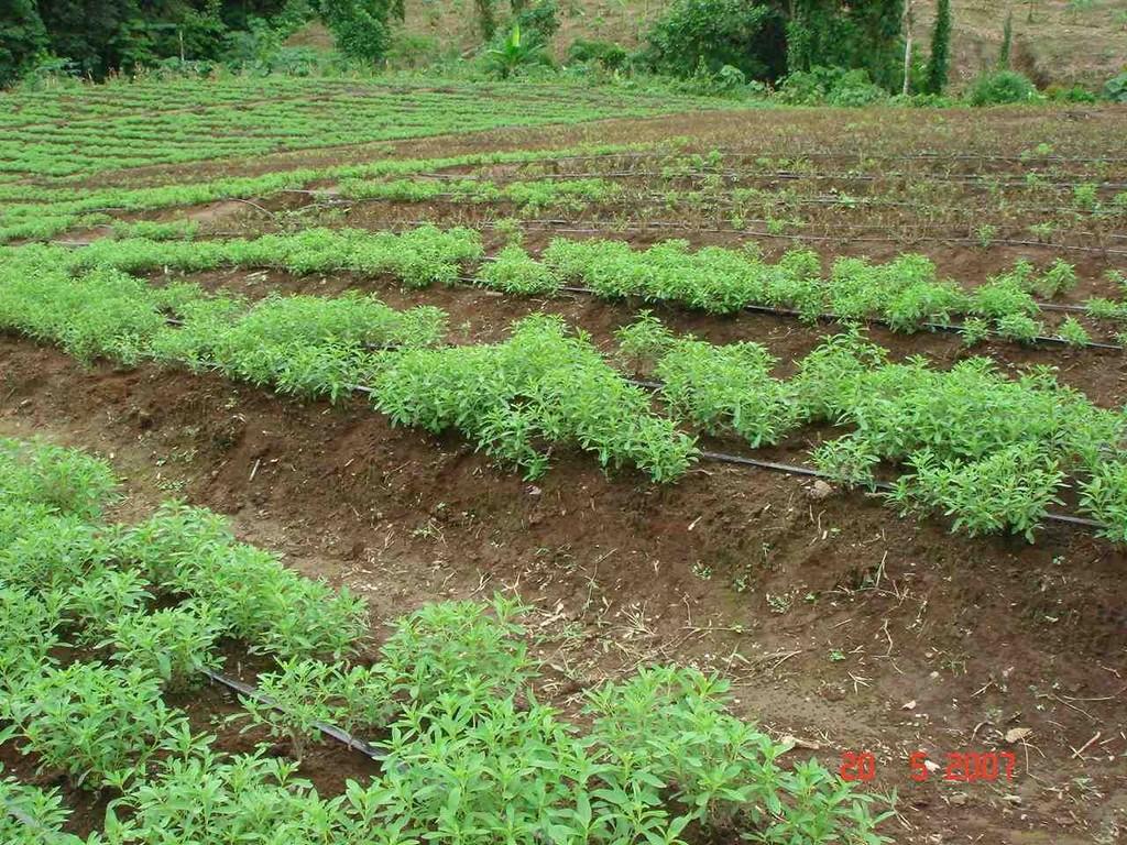 Плантация медового кустарника в Бразилии
